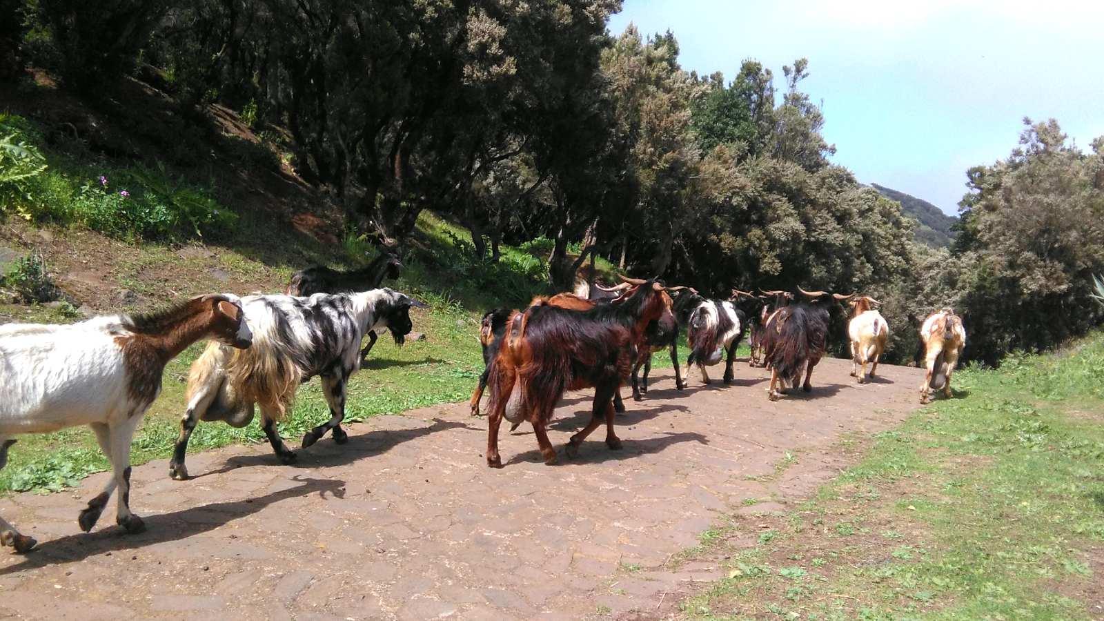 Rebaño de cabras en la aldea de Teno Alto