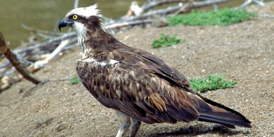 En la zona del Barranco de Masca habitan 3 parejas de águilas pescadoras