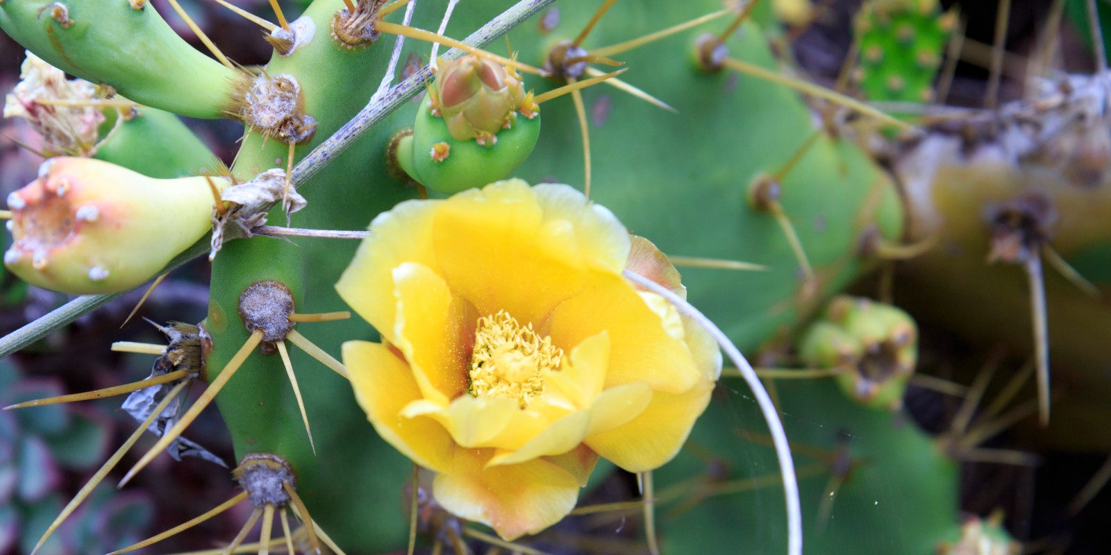 Una opuntia o chumbera en flor