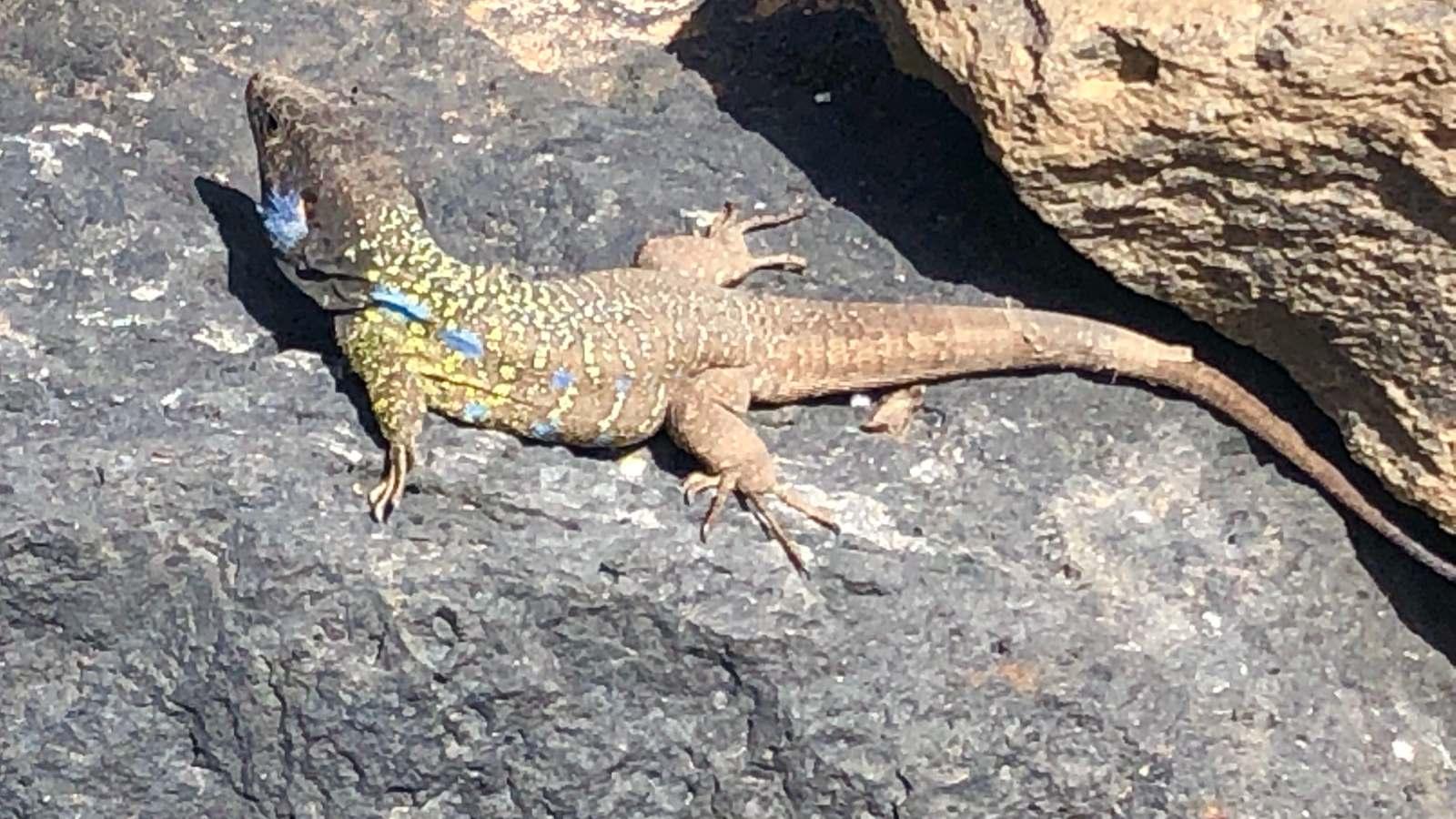 El lagarto gigante vive sobre todo en el Parque Rural de Teno.