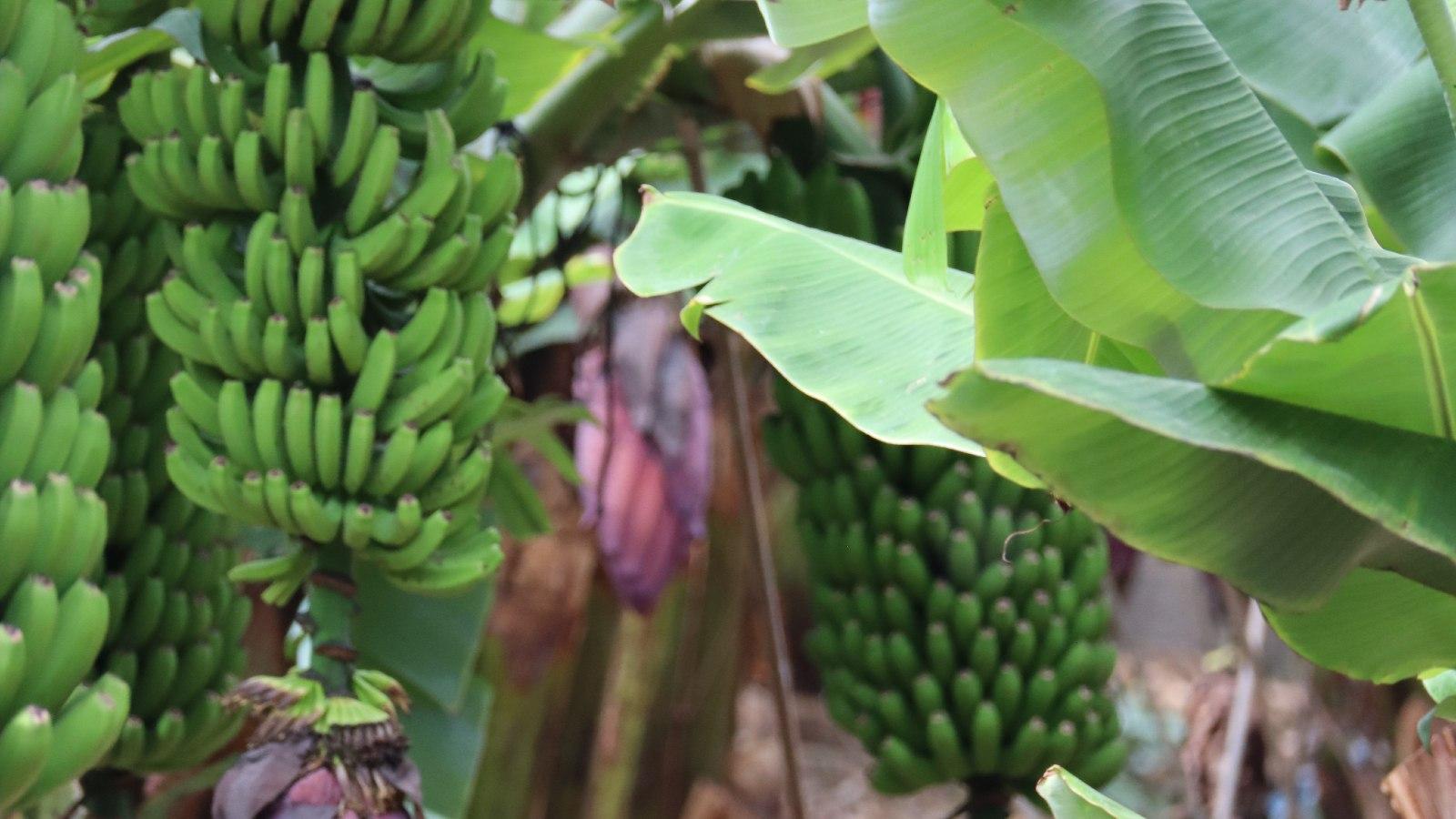 Banane canarienne