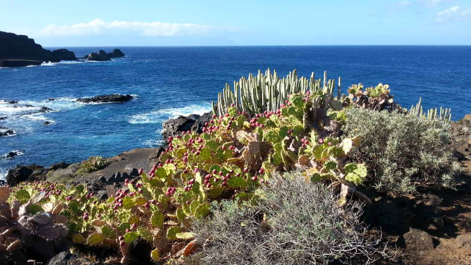 Le cardón est l'une des plantes prédominantes de la végétation côtière