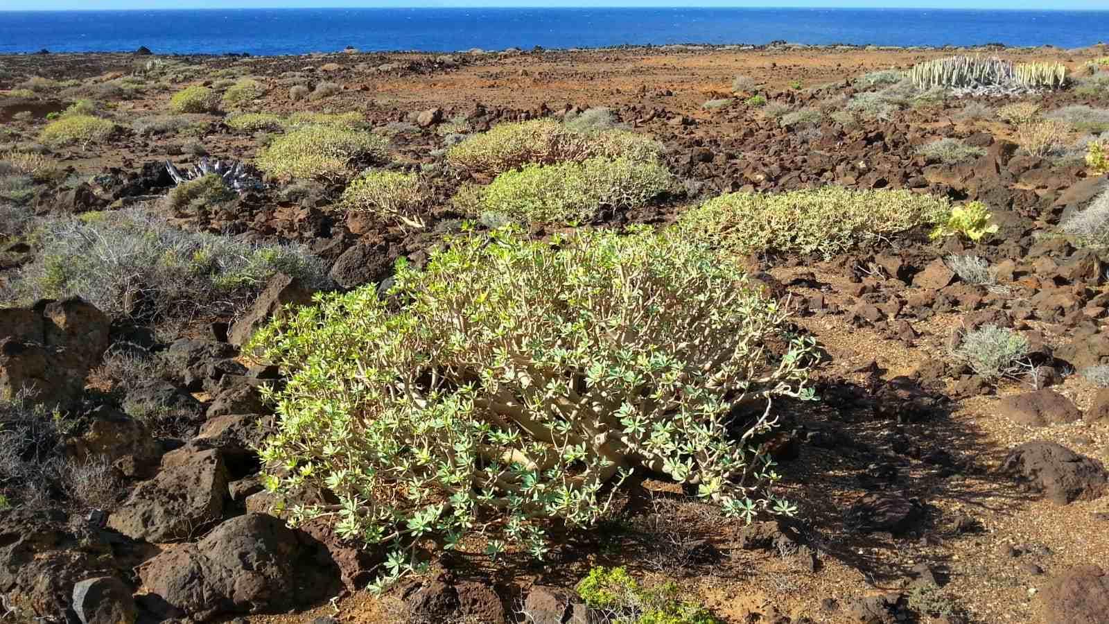 Típica planta que se ve en todo el sendero costero por Buenavista del Norte: la Tabaiba